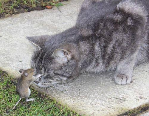 ネズミに目潰しされる猫。