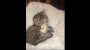 仲良しな子猫とひよこ。
