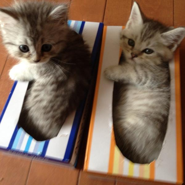 仲良くティッシュ箱に入る子猫。