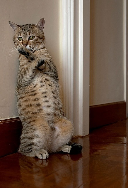 変身ポーズをとるネコ。
