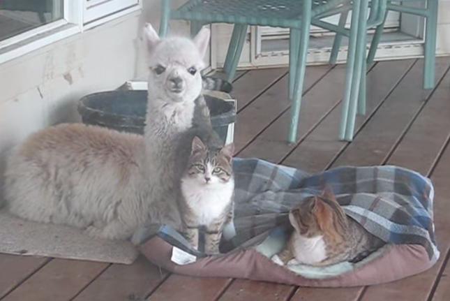 なかよしなアルパカと猫。