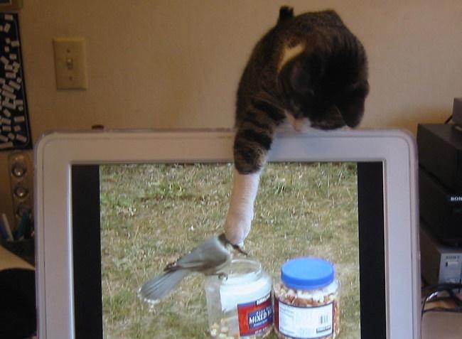 パソコンの鳥を捕まえる猫。