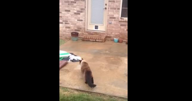 猫用ドアに向かう猫。
