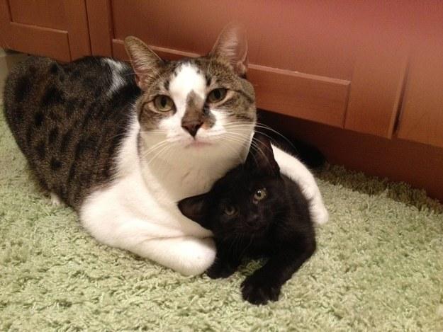 子猫を肩を抱く猫。