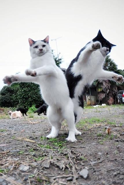 ヒップアタックする猫達。