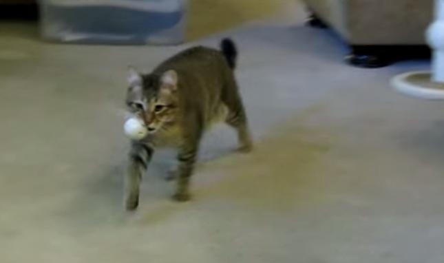 ボールを運ぶ猫。