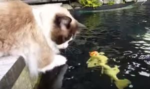 鯉に興味津々の猫。