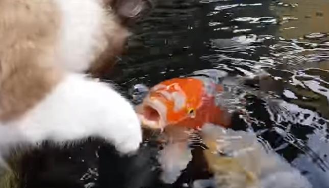 パクパクする鯉。