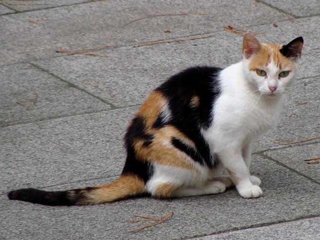 普通の三毛猫さん。