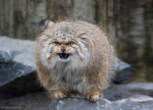 最古のモフモフ猫。