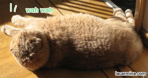 たわしのようなモフモフ猫。
