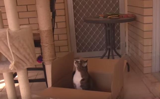 なぜかダンボールに入る猫。