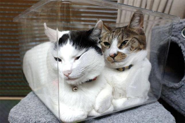なぜかぺったりしてる2匹の猫。
