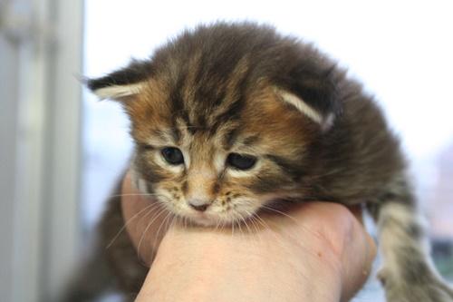 つぶらな瞳の子猫!