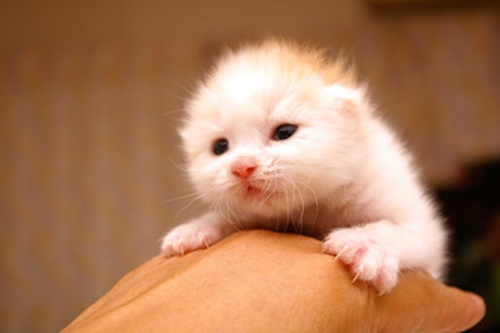 ふわふわ手乗り子猫。