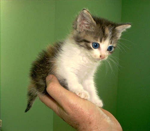 Kitten Blue