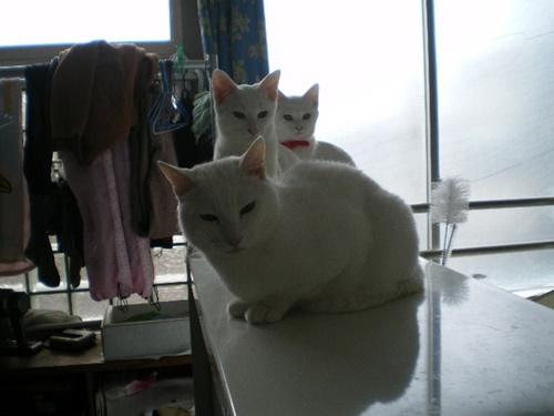 白猫トレイン!
