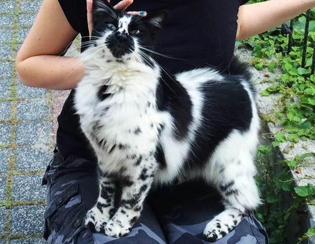 ダルメシアン柄の猫