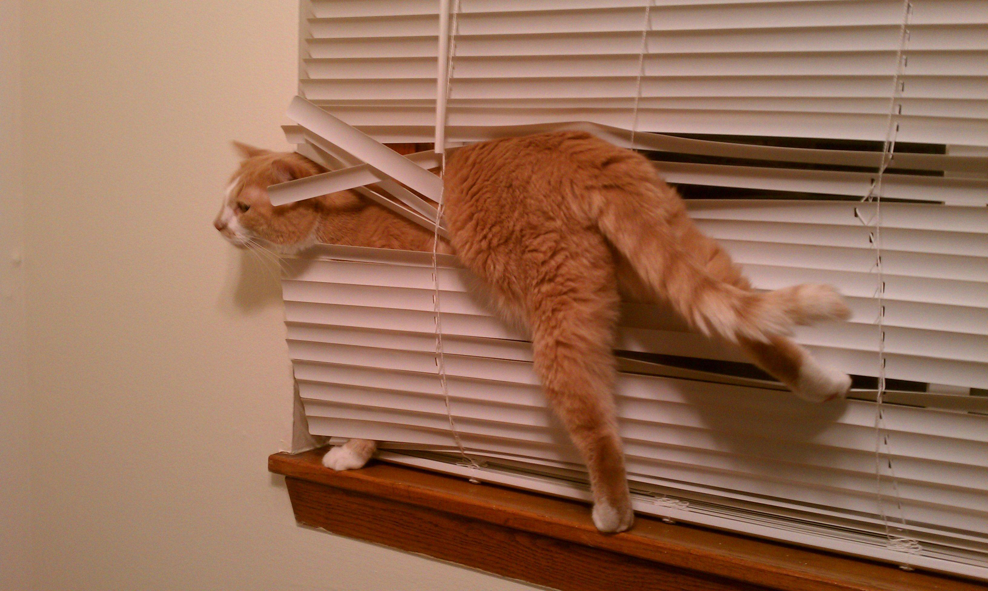 ブラインドに絡まる猫。