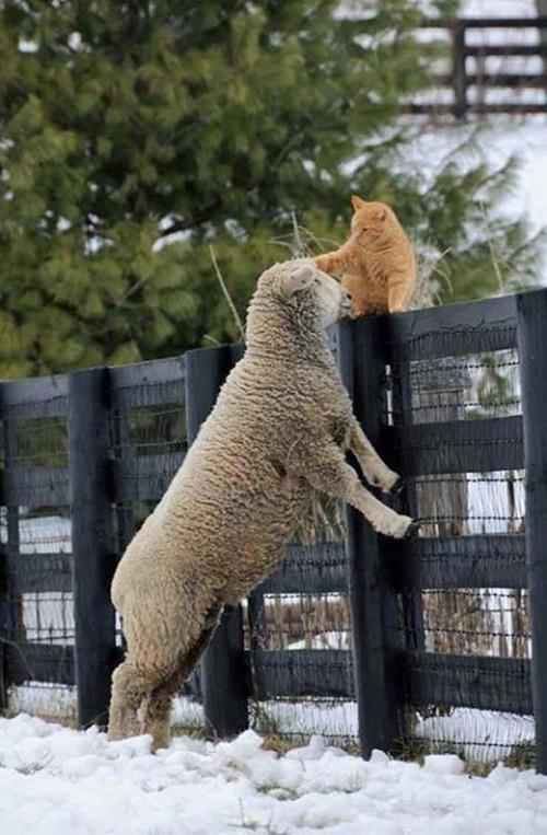 羊に猫パンチをする猫。