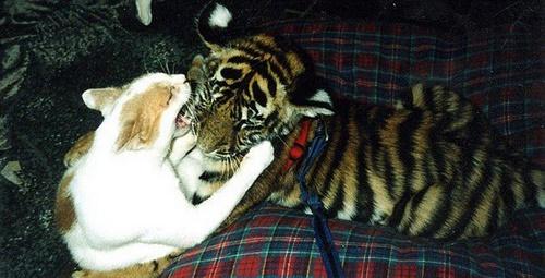 トラにじゃれる猫。