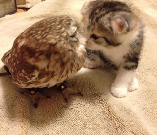 フクロウとキスをする子猫。