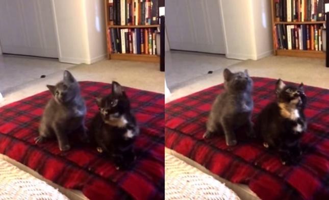 2匹の息ぴったり子猫ダンス。