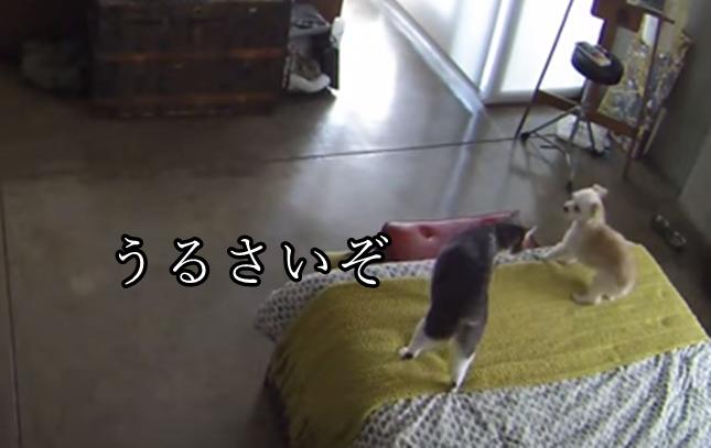 かけつけ眼力で制す猫。