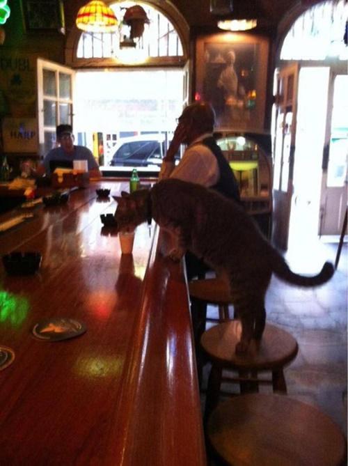 バーで飲む猫。
