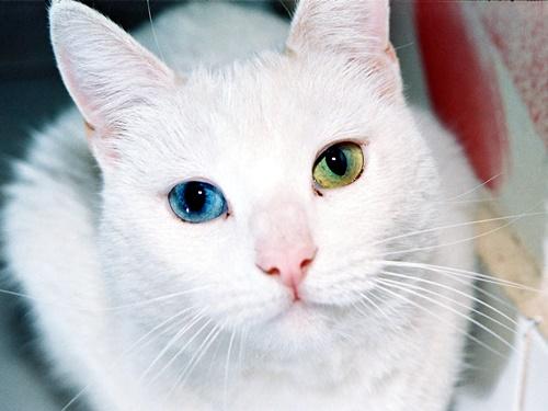 オッドアイの白猫1