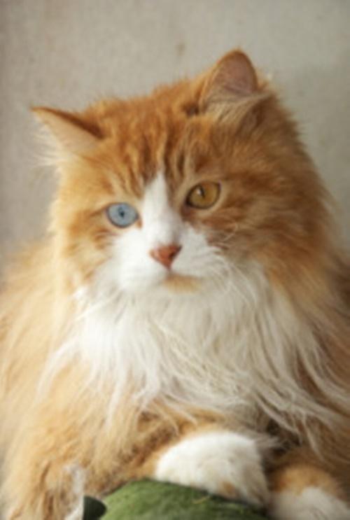 茶白猫のオッドアイ