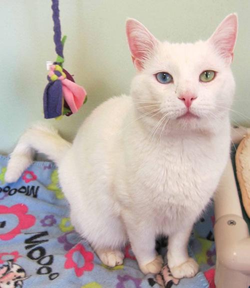 オッドアイの白猫2