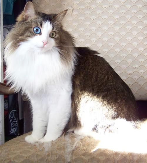 先天的にオッドアイになった猫や白猫の青目の猫は耳に障害が出てしまう事があります。 この両者で耳に軽度、重度を含む耳の障害が発生する確率は60%~70%とも言われ