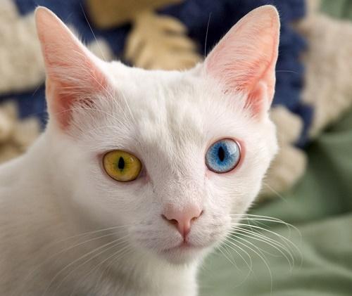 オッドアイの白猫3