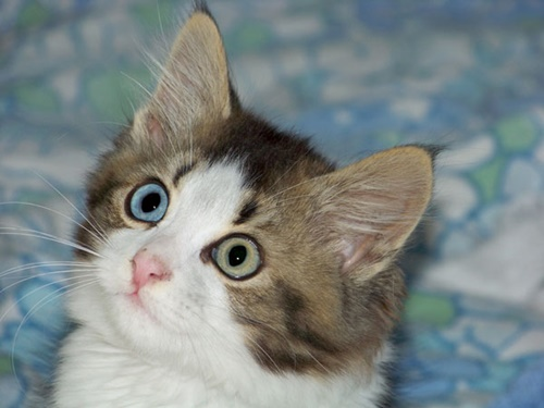 猫のオッドアイの発生確率は正確なデータはまだ出ていませんが、白猫で青目である場合に限って言うと約25%も発生確率があります。やはり、上記した先天的にオッドアイ