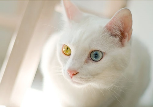 オッドアイの白猫4