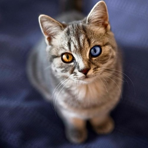 サバトラ猫のオッドアイ