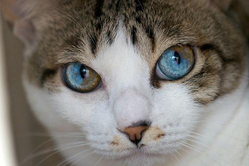 瞳の中の色が違う猫。