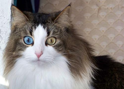 キジシロ猫のオッドアイ