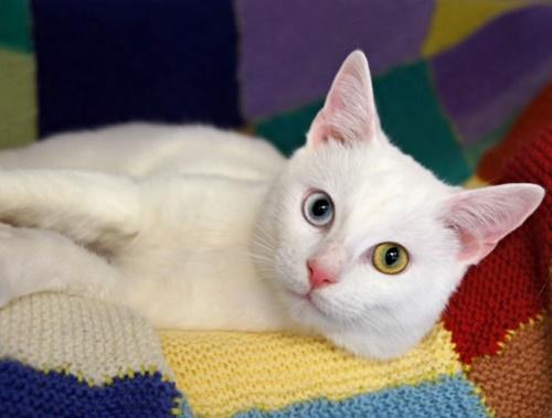 オッドアイの白猫5