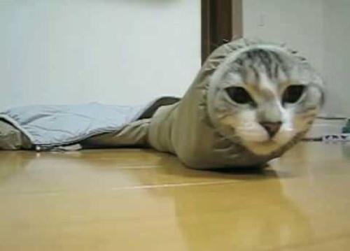 完全なるイモムシ猫。
