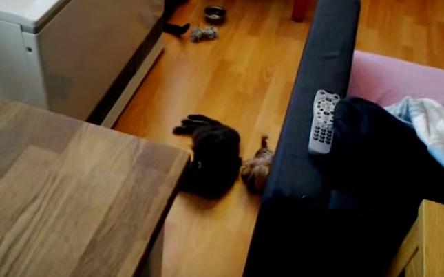 猫をひっぱる犬。