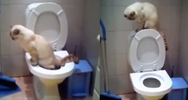 人間用トイレを使いこなす猫。