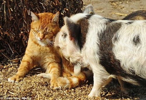 仲良しな猫と豚!