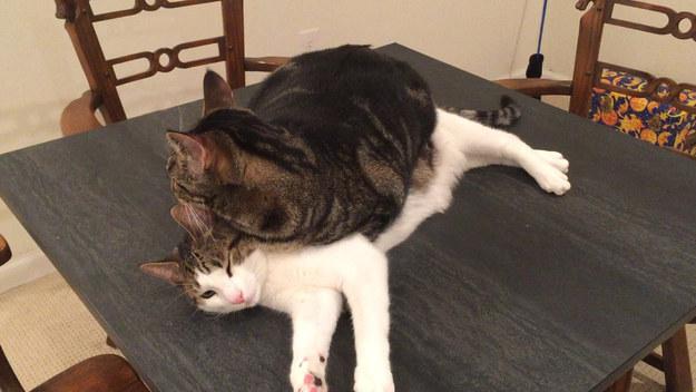 猫の上に寝る猫。