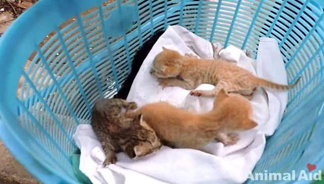 救助された子猫から汚れを落とします。