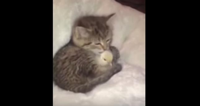 最高に可愛い子猫とヒナ鳥!