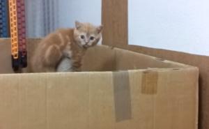 ダンボールから出たい子猫。