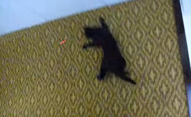 天井まで追いかける猫!