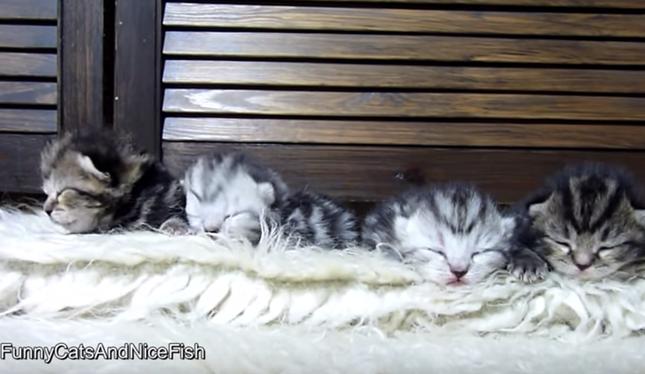 目も開かない4匹の子猫。